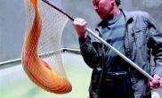 市民捞到金黄胖头鱼长1米重25斤(图)