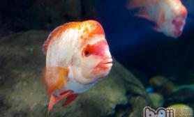 饲养罗汉鱼的环境建议