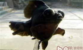 观赏鱼为什么会突然褪色