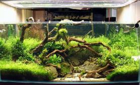 沉木中大鱼缸欣赏案例