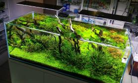 水草造景(150CM及以上)杜鹃根