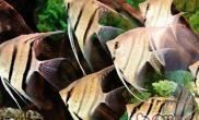 神仙鱼的饲养环境