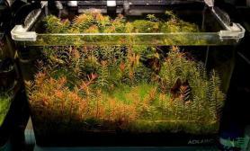 草缸里的红树林水草缸红的惊心动魄