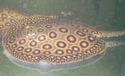 饲养珍珠魟鱼的水质要求(图)