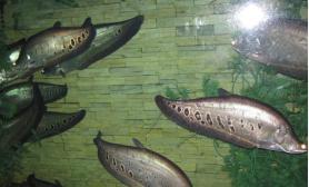 七星刀鱼的外形与习性特点(图)