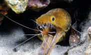 深水尖牙海鳗惊人露齿(多图)