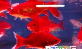 """""""红""""风吹热观赏鱼市(图)"""