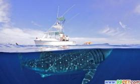 鲸鲨与人类同游(多图)