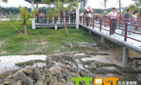 鳄鱼的室外养殖技术介绍