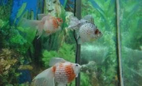 珍珠鳞金鱼的繁殖习性(图)