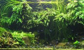 大缸椒草水景