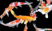 """日本锦鲤身价能高达百万被称为""""游动的宝石""""(图)"""