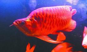 稀奇红龙鱼开价268万(图)